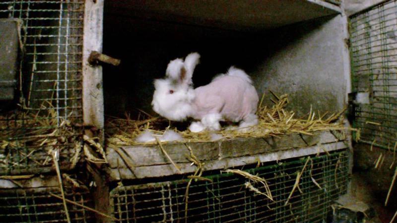 Video One Voice Denuncia Maltrato A Conejos De Angora En Francia Internacional Noticias El Universo
